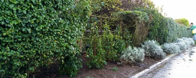 North Lodge Park - Hedge replacements